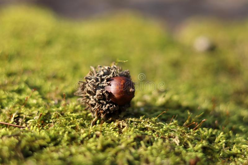 Acorn on the green moss background royalty free stock photos