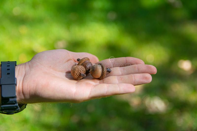 Acorn held in the palm. picture taken in Central Park Anton von Scudier from Timisoara.  stock photography
