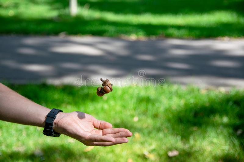 Acorn held in the palm. picture taken in Central Park Anton von Scudier from Timisoara.  stock photo
