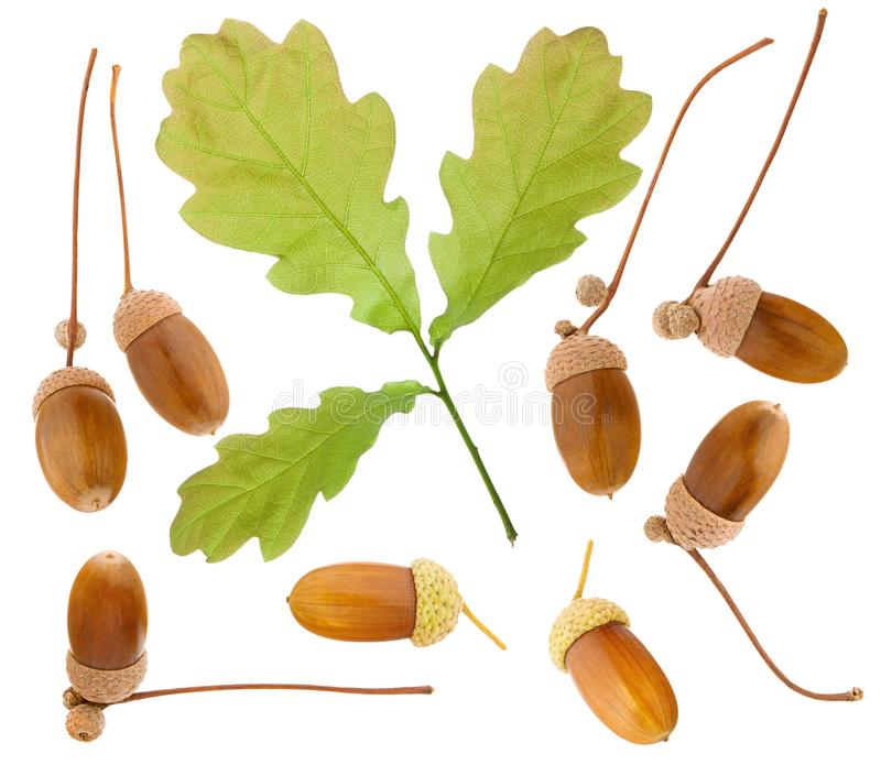 Acorn isolated. Set, group or collection of oak green leaf and ripe acorn fruit on stem isolated on white background royalty free stock photo