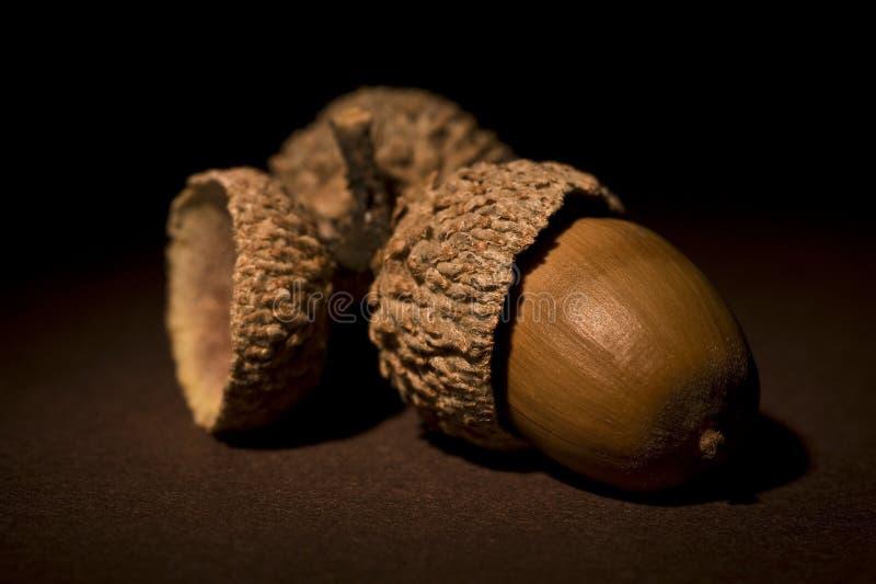 acorn jesień obrazy royalty free