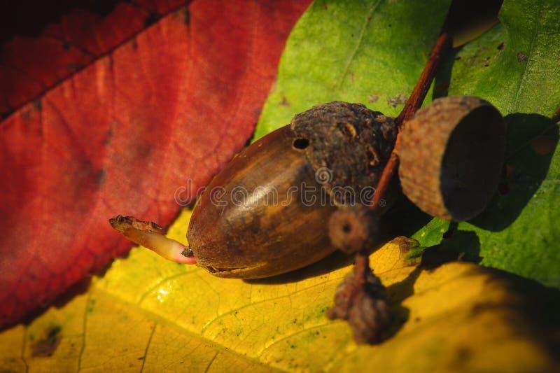 acorn kiełkowanie zdjęcie royalty free