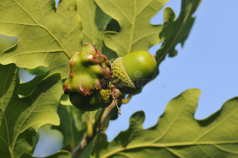 Acorn with Knopper Gall. Pedunculate (English) Oak - Quercus robur Acorn with Knopper Gall - Andricus quercuscalicis stock images
