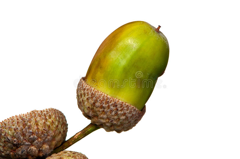 Download Acorn From The Mighty English Oak Stock Image - Image: 21214195