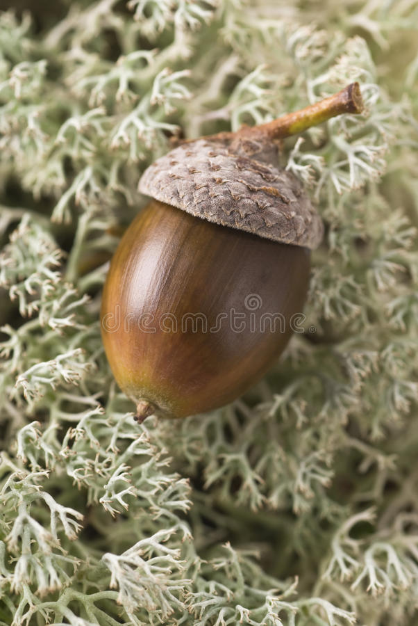 Acorn In Moss stock photography