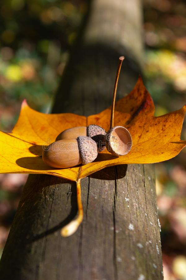 Acorn Nut At Thanksgiving Fall Color Leaves Stock Photo ...