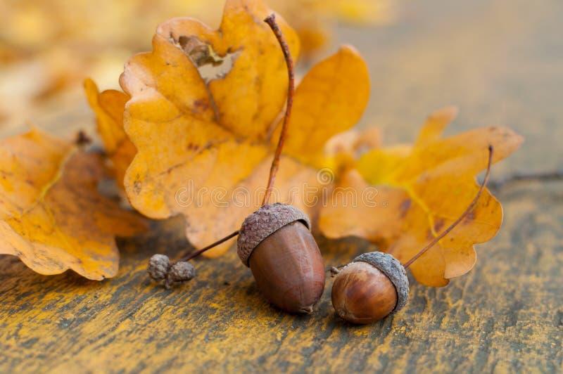 Acorn oak autumn still life. Autumn beauty concept - oak acorns and golden leaves royalty free stock images