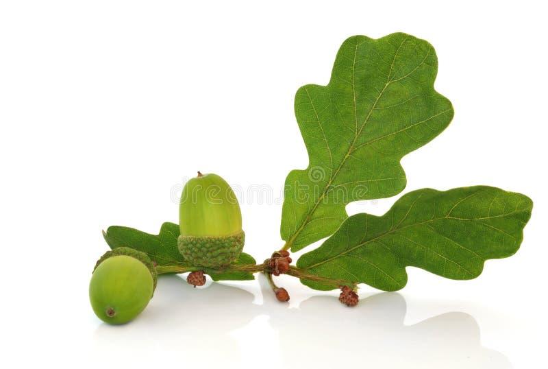 Acorn And Oak Leaf Sprig Royalty Free Stock Photos