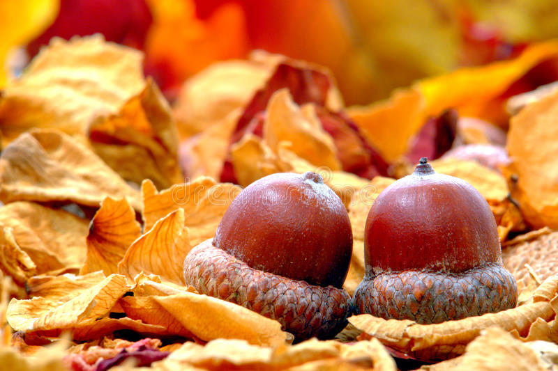 Acorn Oak Nut on Leaf Covered Fall Forest Floor stock photography