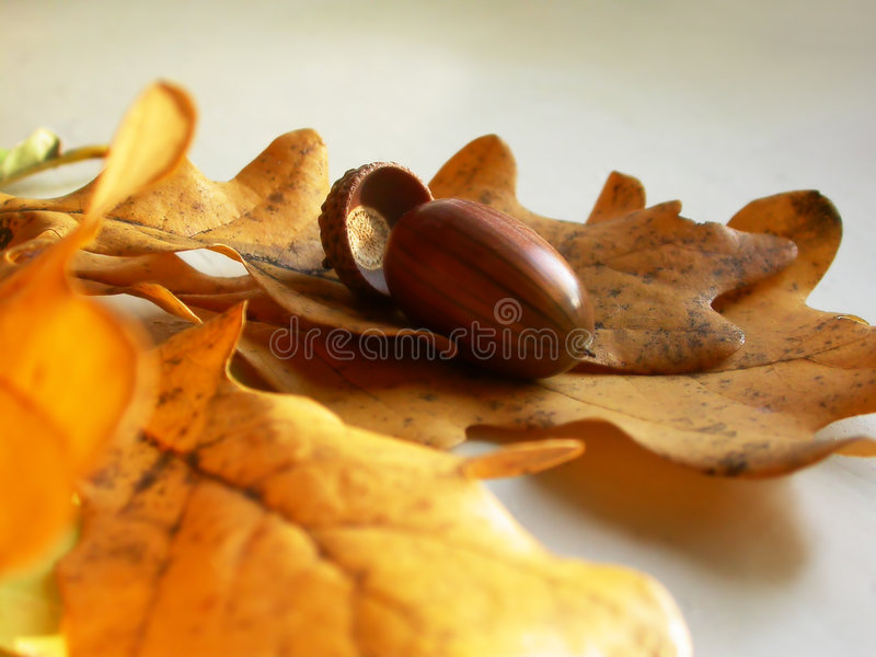 Acorn on a oaken leaves royalty free stock photography