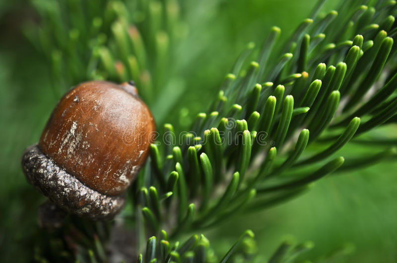 An acorn on a pine branch. An acorn on a green pine branch, autumn royalty free stock images