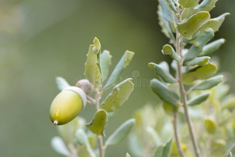 Acorn Quercus ilex es el fruto característico del roble fotografía de archivo libre de regalías