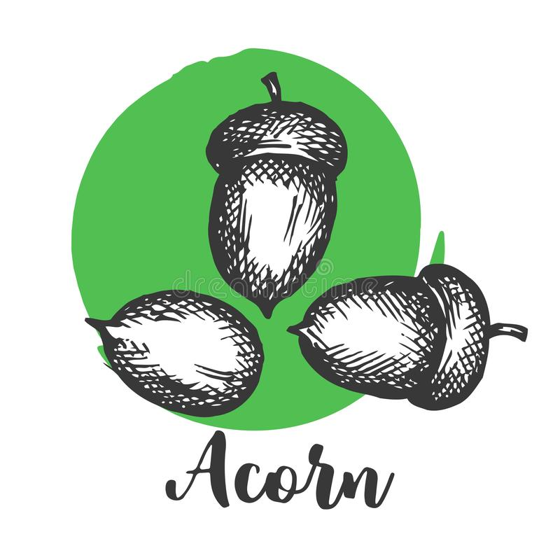 Acorn setch style Hand drawn vector illustrations Autumn elements . Design elements for invitations, greeting cards royalty free illustration
