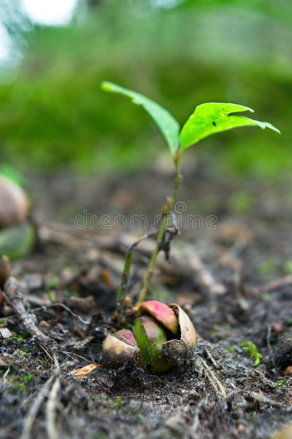 From small acorn mighty oak trees grow, sprout in a forest. An acorn sprouting on the forest ground with two large new leaves royalty free stock images