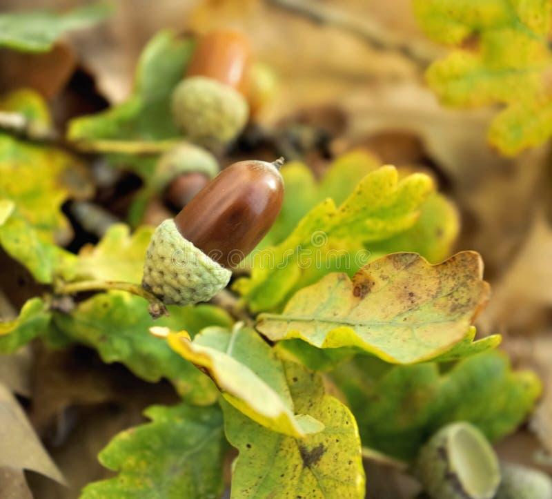 Acorn w ulistnieniu w jesieni obraz stock