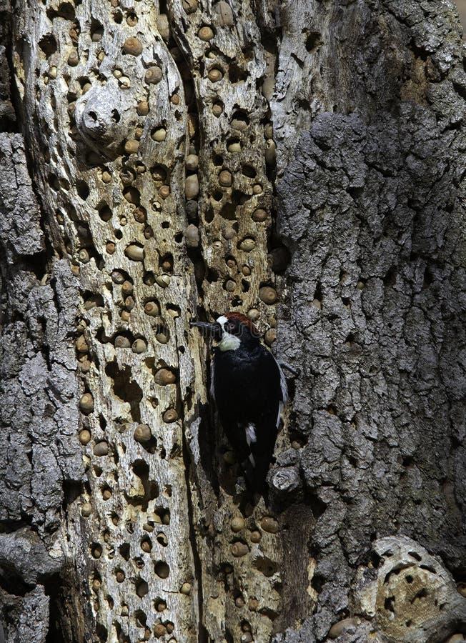 Free Acorn Woodpecker At The Larder Royalty Free Stock Image - 163521506