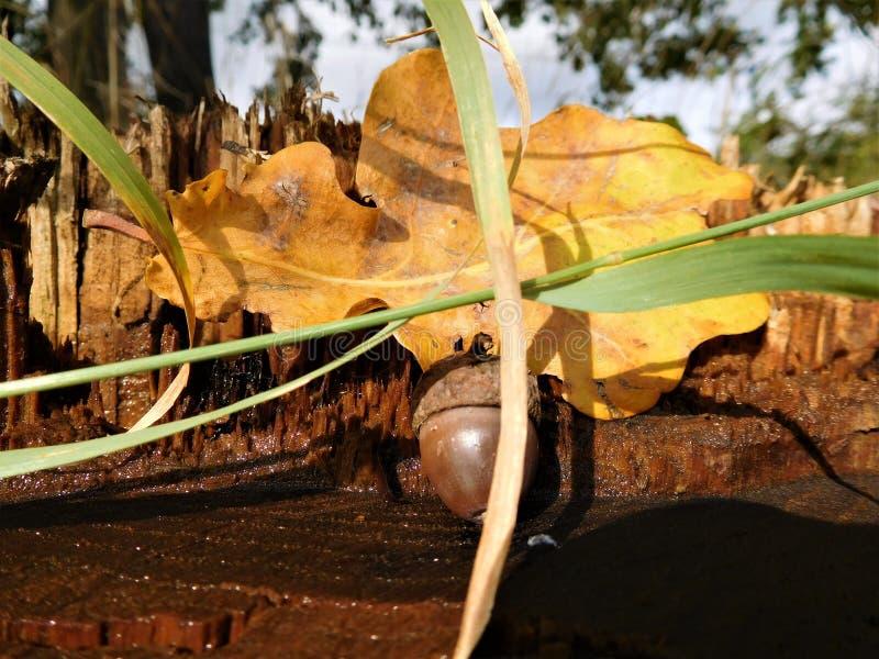Acorn z kolorowym liściem obrazy stock