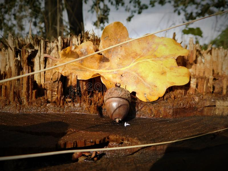 Acorn z kolorowym liściem zdjęcia stock