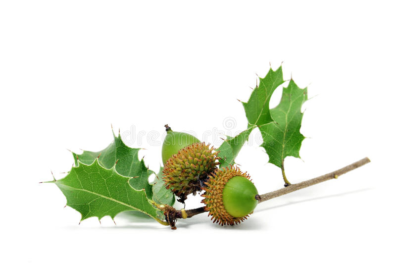 Download Acorns stock image. Image of food, fall, isolated, edible - 15884531