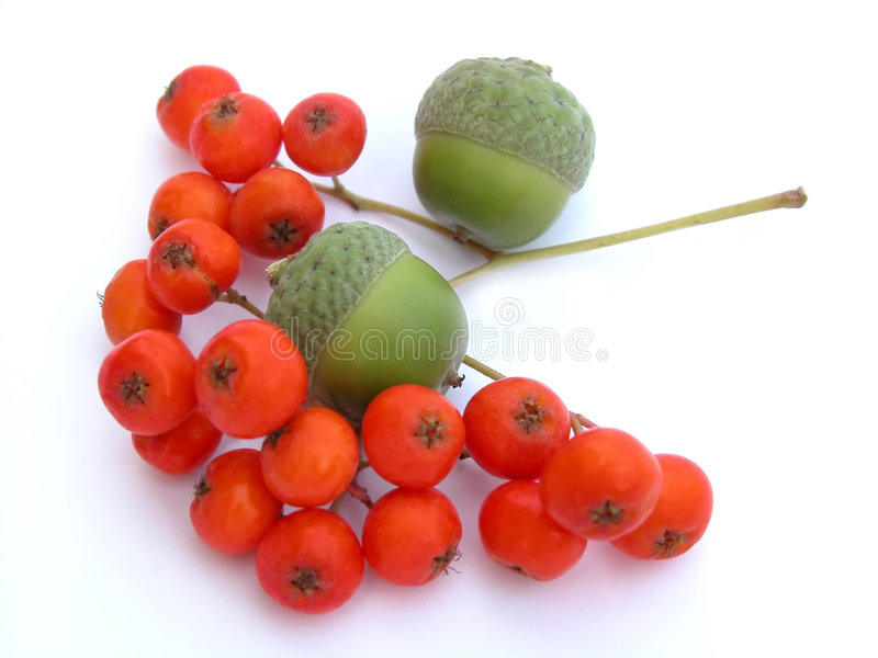 Acorns and ashberry stock image
