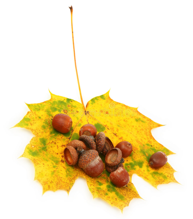 Acorns on autumn leaf