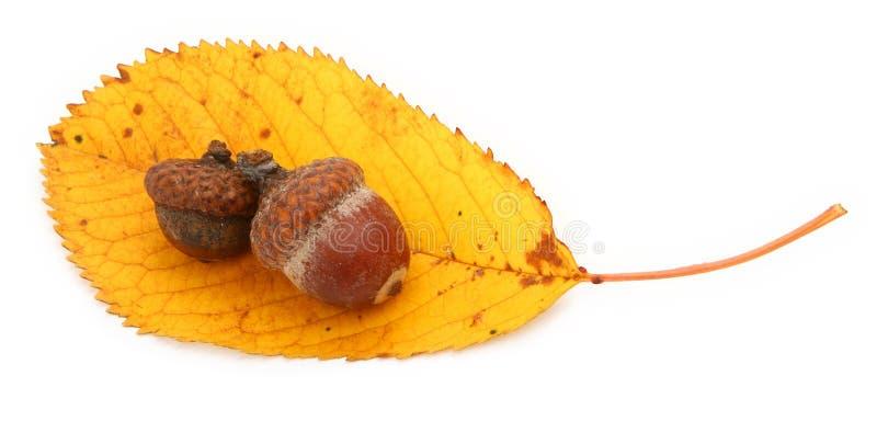 Acorns On Autumnal Leaf Royalty Free Stock Image