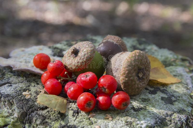 Acorns and berries of mountain ash on the stump royalty free stock image