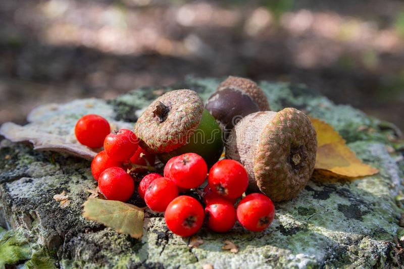 Acorns and berries of mountain ash on the stump. Nature royalty free stock photo