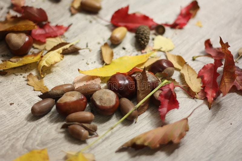 Acorns, chestnuts, fir cones, red and yellow maple leaves royalty free stock photography