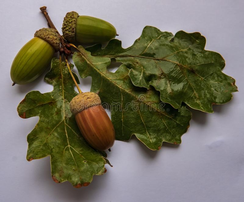 Acorns dąb z liśćmi kłamają na konopie zdjęcia stock