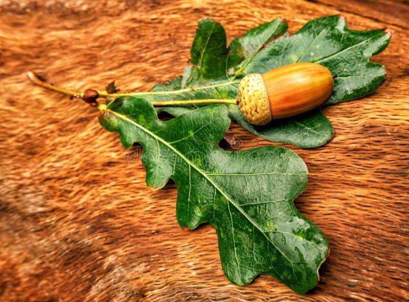 Acorns dąb z liśćmi kłamają na konopie zdjęcia royalty free