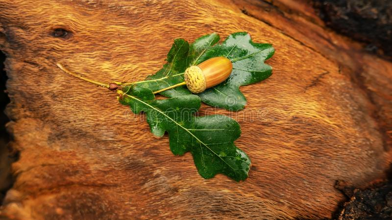 Acorns dąb z liśćmi kłamają na konopie fotografia stock