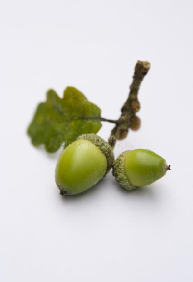 Free Acorns From An Oak Tree Royalty Free Stock Photo - 3138135