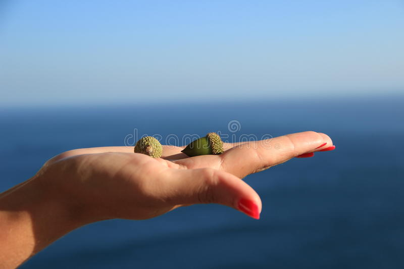 Download Acorns in hand stock image. Image of vegetation, green - 33159115