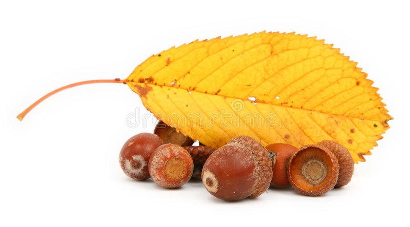 Acorns and leaf royalty free stock images
