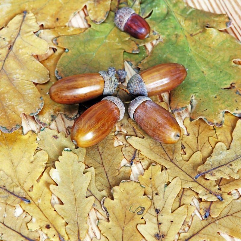 Acorns na jesień dębowych liściach jako natury tło Odgórny widok zdjęcia royalty free