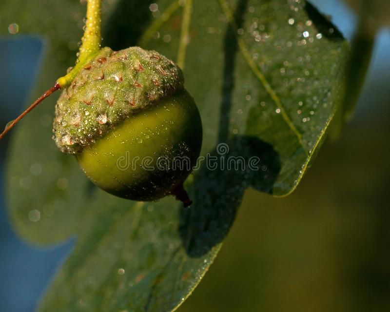 Acorns oak branch stock images