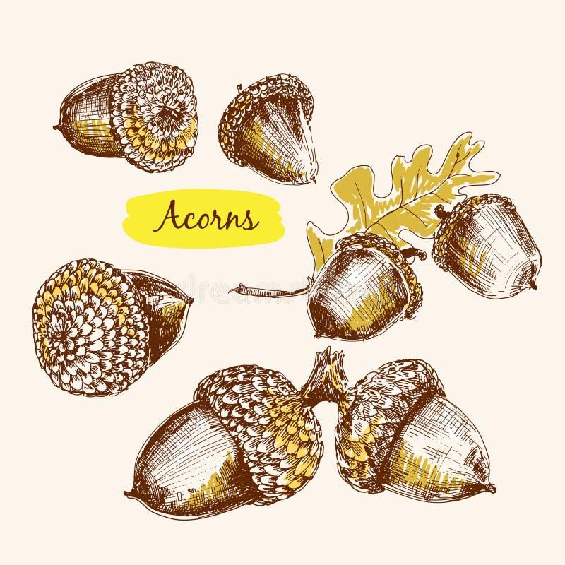 Acorns royalty free illustration