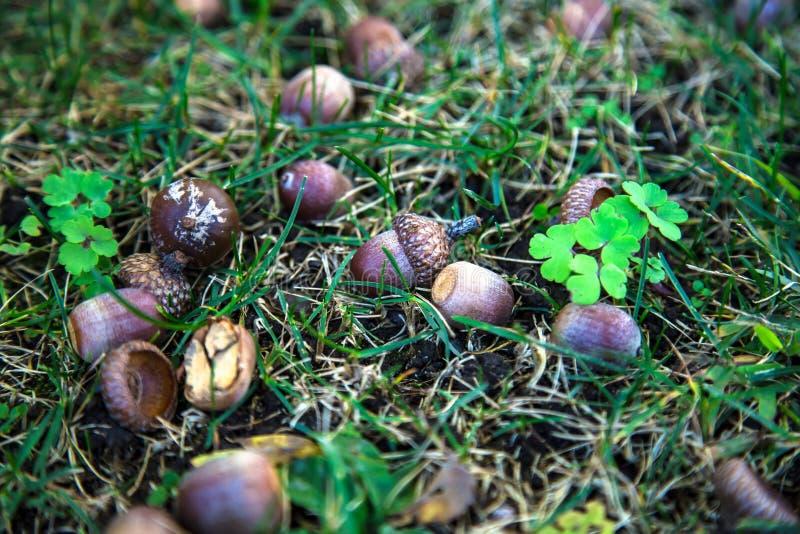 Acorns w trawie Północny Bronx NYC obrazy stock
