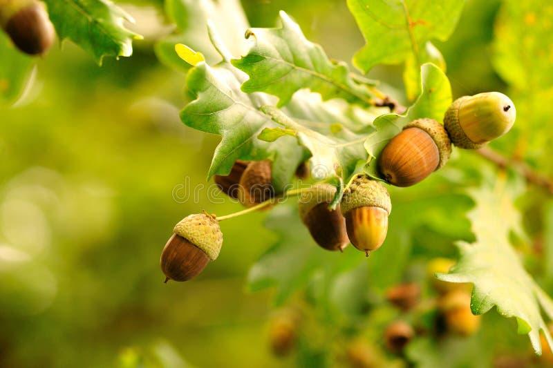 acorns zbliżenie zdjęcia royalty free