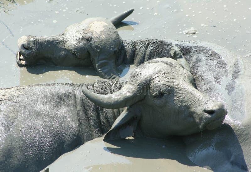 Acqua-bufalo fotografie stock
