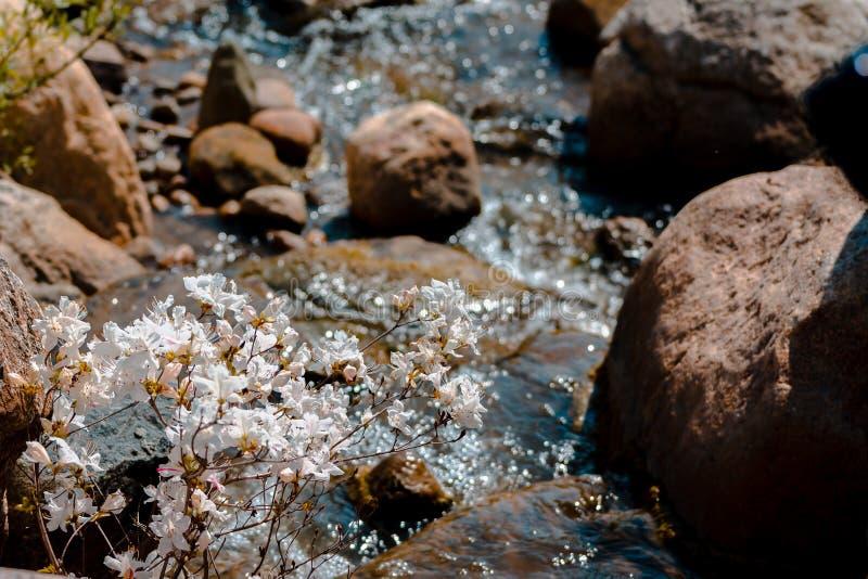 Acqua che precipita sopra le rocce da una cascata un giorno di molla in Frederik Meijer Gardens a Grand Rapids Michigan immagini stock