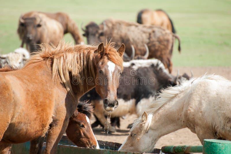 Acqua della bevanda dei cavalli selvaggii immagini stock libere da diritti