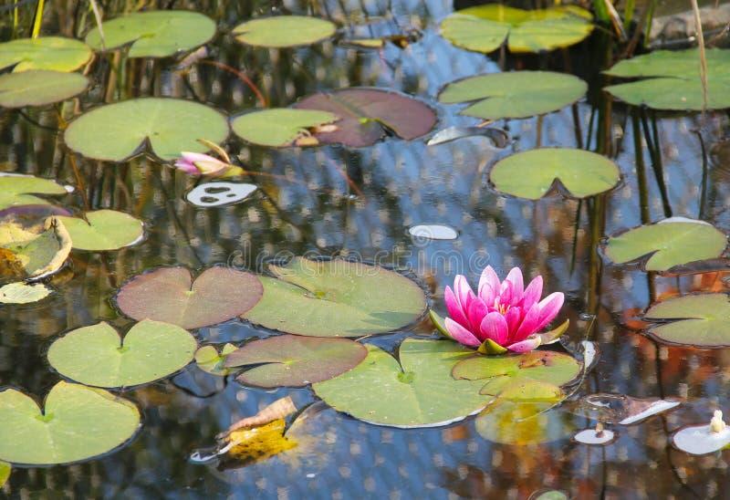 Acqua dentellare lilly fotografie stock