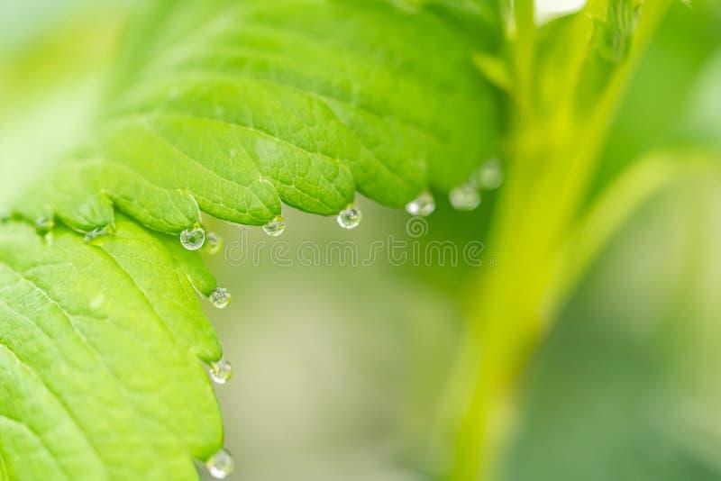 Acqua di nebbia sulla foglia di fragola verde in un'azienda agricola biologica fotografia stock libera da diritti