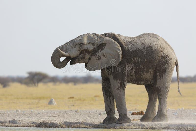 Acqua drinjking dell'elefante alla pentola NP di Nxai immagine stock libera da diritti