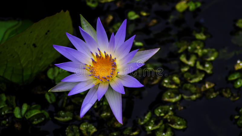 Acqua lilly fotografie stock