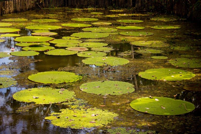 Acqua lilly al Rio delle Amazzoni immagine stock libera da diritti