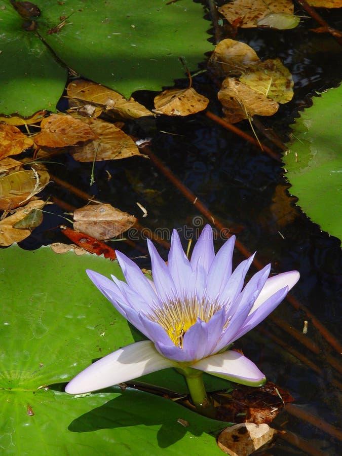 Acqua Lilly, Isola Maurizio fotografie stock