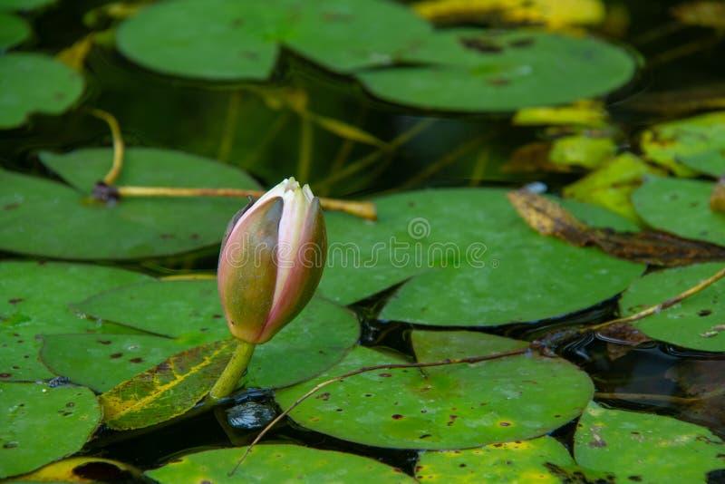 Acqua lilly in uno stagno fotografia stock libera da diritti